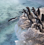 David Ainley and Jean Pennycook are studying Adélie Penguins in Antarctica.