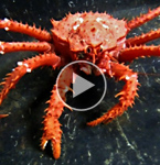 Warming Antarctic Waters May Allow King Crabs to Restructure Ecosystems