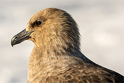 The Infamy Of The Skua