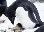 UAVs Monitor Cape Crozier's Adelie Penguin Colonies