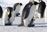 Scientists Determined First-ever Census for Emperor Penguins