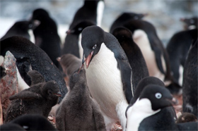 Adelie penguins on Torgersen Island, near Palmer Station